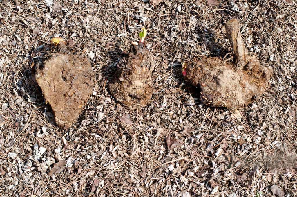 rhubarb bulbs on the dirt