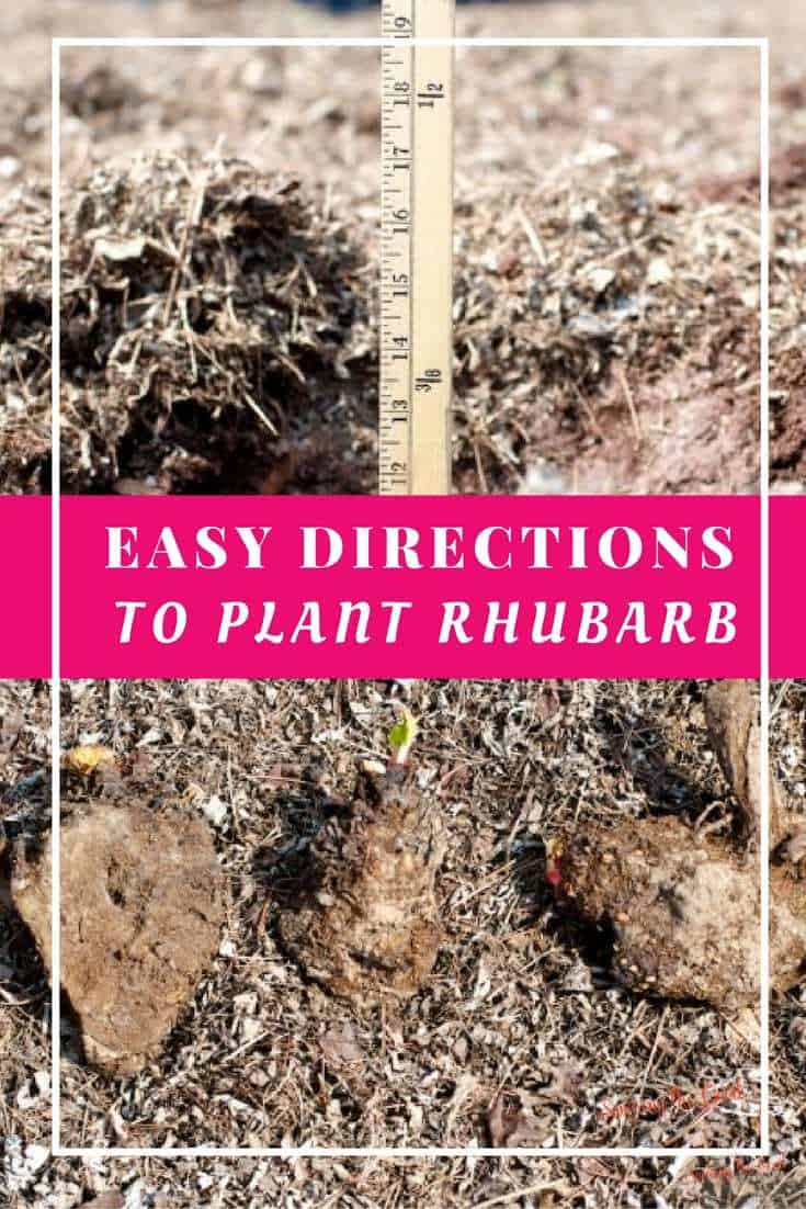 How To Plant Rhubarb In Your Fall Garden. Did you know you are suppose to plant rhubarb in your fall garden? This perennial stalk needs to be planted in the fall so it is first to greet the spring after a long winter.
