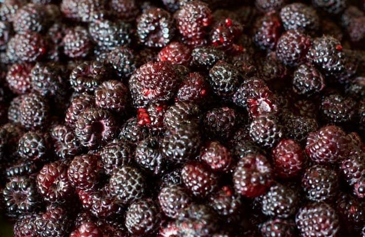 fresh black raspberries fill the image