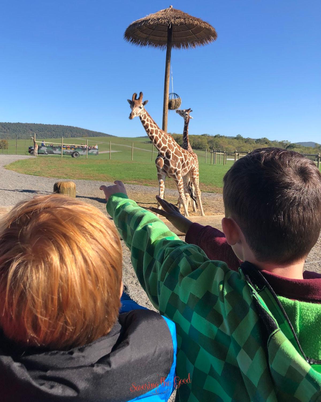 the giraffes at Lake Tobias Wildlife Park