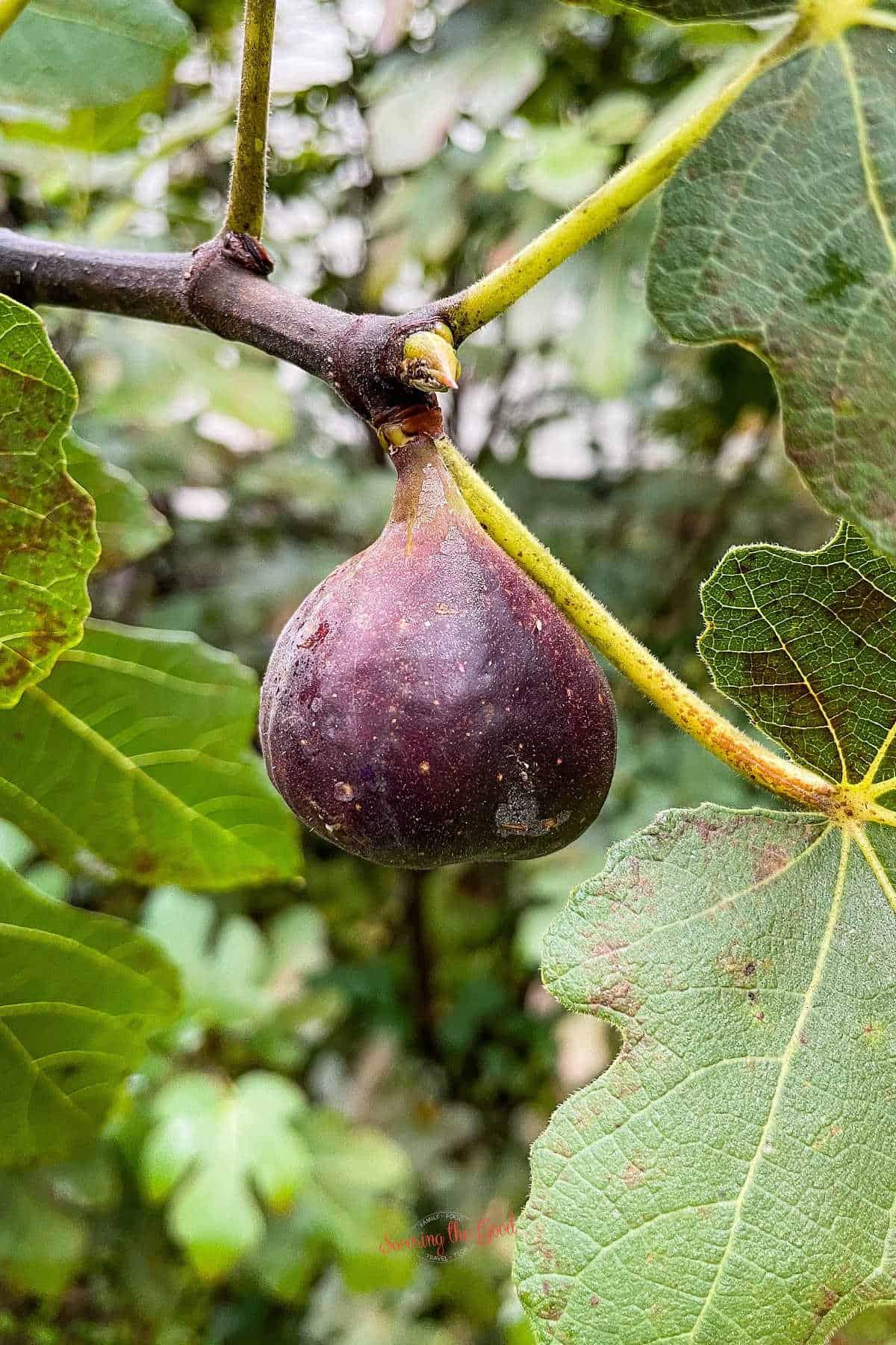 fresh fig on a branch
