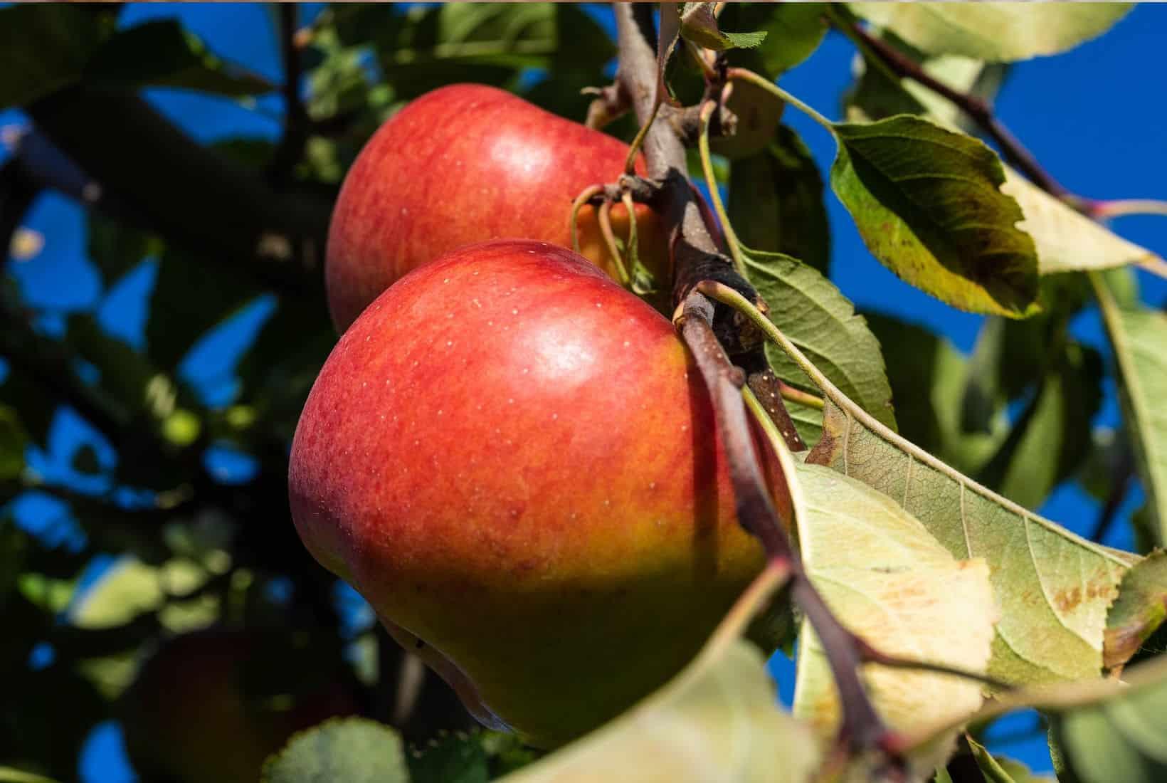 topaz apple shutter stock image